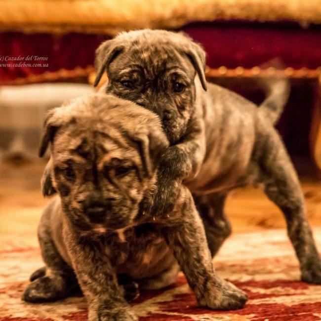 """04.10.2017 puppies Ca de Bou Litter """"P"""""""