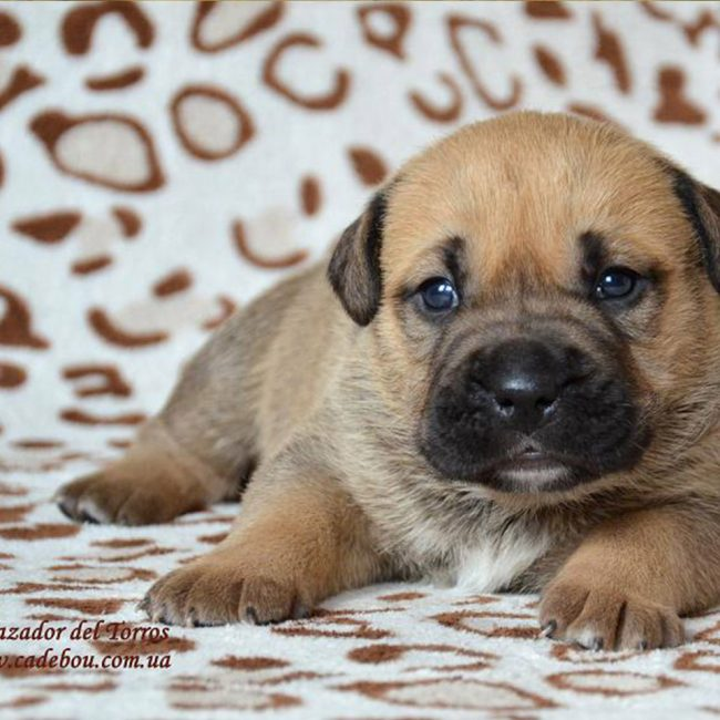 """02.23.2015 puppies Ca De Bou Litter """"I"""""""