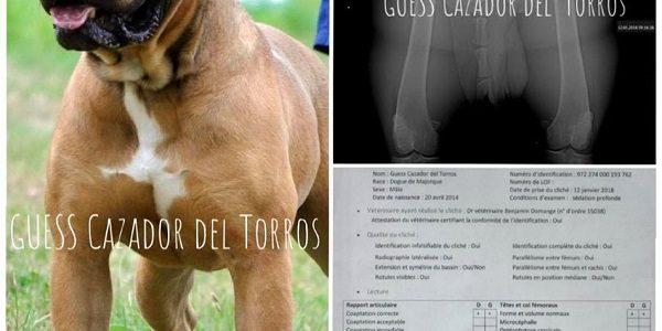 CA DE BOU GUESS CAZADOR DEL TORROS